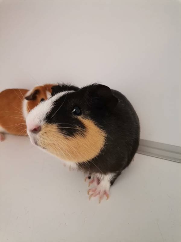 2 cochons d'Inde femelles